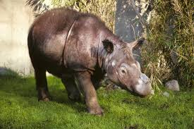 Sumatran Rhino Captured by Video Production Crew